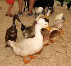 06_ducks.jpg (83kb)